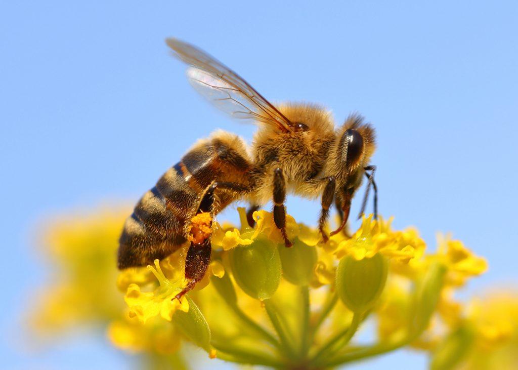 Apiterapia - Curarsi con il veleno delle api